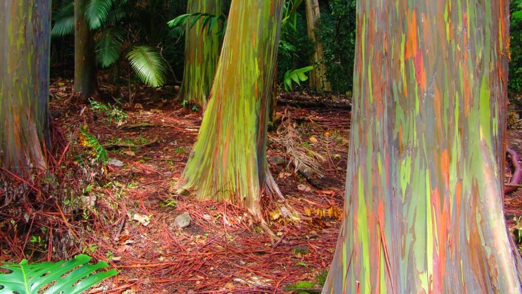 Tęczowe drzewa naprawdę istnieją. Wszystko przez korę
