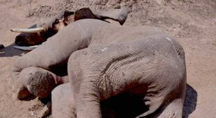 Martwy krokodyl i słoń (Darren Bartlett/Andrew Mwanza)