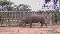 Zagadkowa śmierć nosorożca białego północnego. Teraz po świecie chodzi tylko sześć osobników
