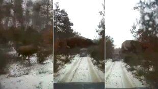 """""""Latający jeleń"""". Dziesięciometrowy skok tuż przed samochodem"""